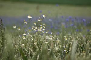 silke tauchert/fotofee-st.de/getreide/korn
