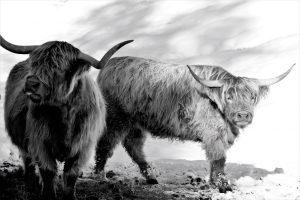büffel & berge in schwarz-weiß