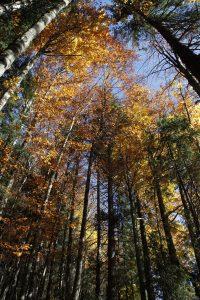 silke tauchert/fotofee-st.de/allgäu/tannheimertal/herbst/wald/goldener oktober