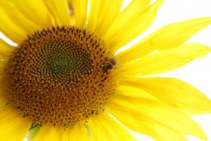 silke tauchert/fotofee-st.de/sonnenblume
