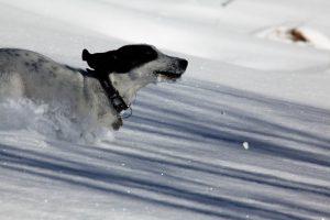 silke tauchert/hund im schnee/jungholz/allgäu/winter