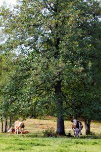 silke tauchert/fotofee-st.de/herbst/moor/weide/kuh/bäume